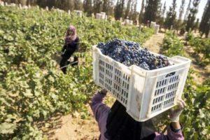 Le vin des pharaons d'Égypte n'est certes pas reconnu comme étant un pays d'excellence pour la qualité de ses vins.